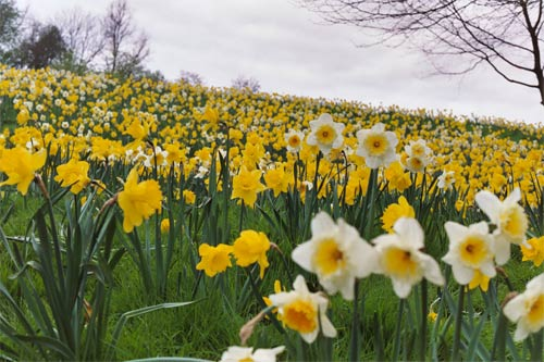 Daffodils in the UK - copyright George Gensler