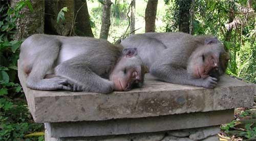 Sleeping monkeys, Balinese temple