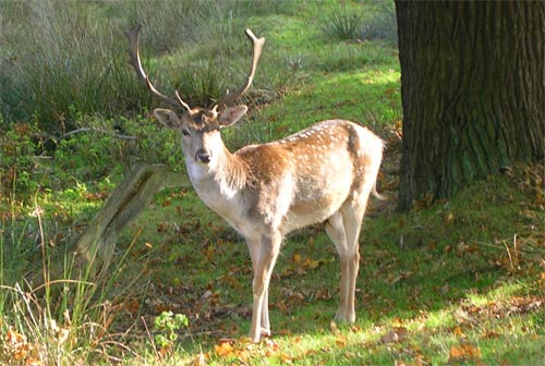 A stag on National Trust land in the UK