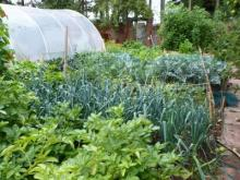 A poly tunnel and vegetables growing in the L'Arche Brecon garden